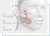 顔の脂肪吸引ポイント⑦後遺症を残さない解剖学の知識